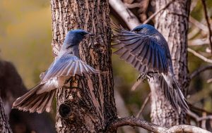 Incredible DELIGHT in your life - western bluebird